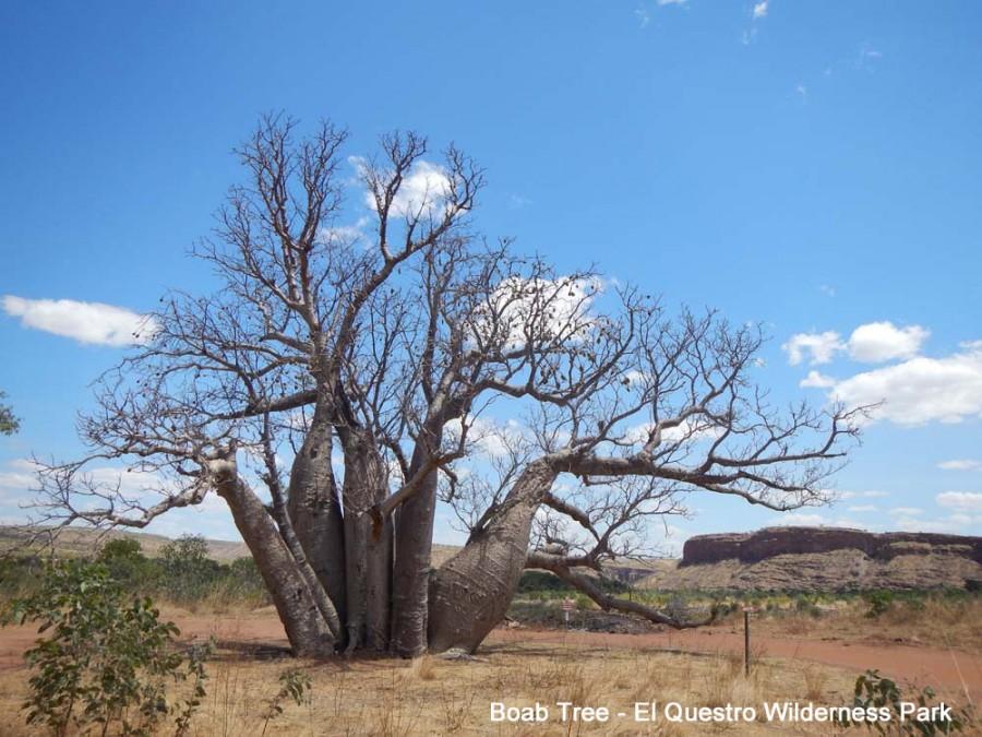 Boab Tree - El Questro Wilderness Park