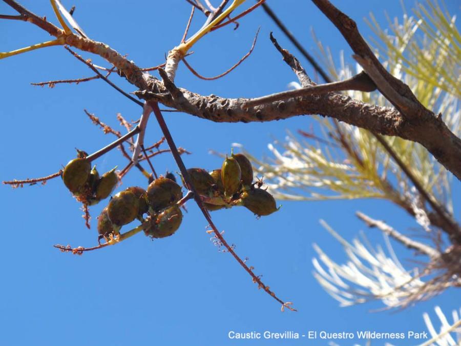 Caustic Grevillia - El Questro Wilderness Park