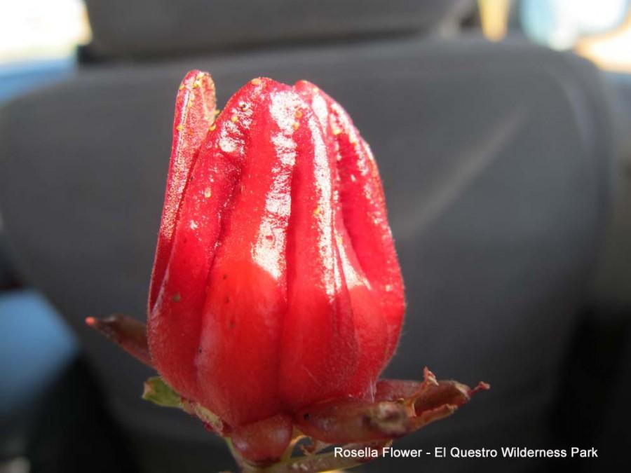 Rosella Flower