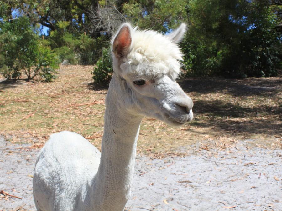 ...and llama pen...
